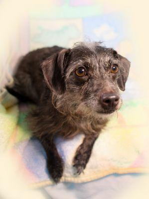 """ZOOMIE"" Adorable Wirehaired Doxie mix"