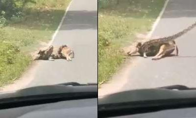 Watch: Video of python strangling deer will give you the chills