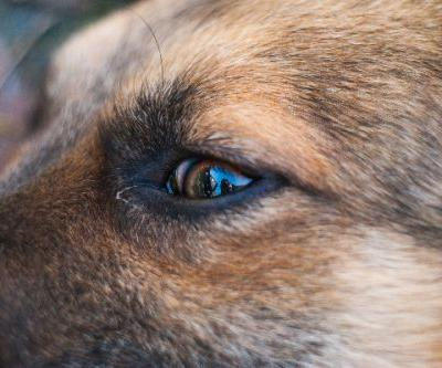 Horner's Syndrome in Dogs - Symptoms, Diagnosis and Treatment