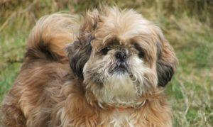 The Trendy New Kind of Dog Treat Shih Tzus Go Nuts For