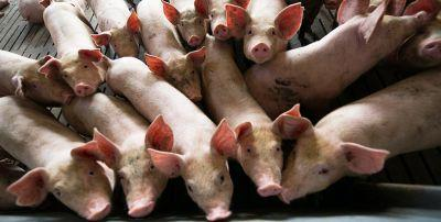 HIMP: Inherently Cruel for Pigs