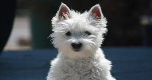 Westie Left In Back Of Stolen Car In Staffordshire Recovered
