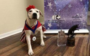 Formerly Abused Pit Bull, Famous For Her Headbands, Wins Hero Dog Award