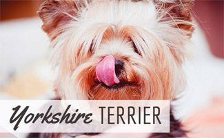 Yorkshire Terrier: The Ultimate Companion Dog?