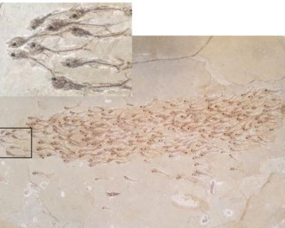 Newly-discovered fossilized school of fish is like a snapshot in time
