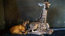 Orphaned Baby Giraffe Famous For Friendship With Dog Has Died