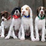 Direct-To-Consumer Genetic Testing in Dogs - How Useful Is It, How Accurate Is It, What New Problems Does It Present?