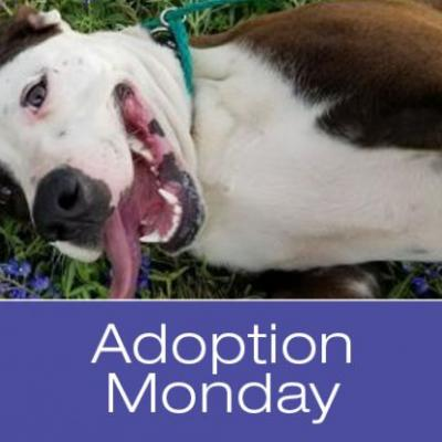 Adoption Monday: Kade, American Staffordshire Terrier, Killeen, TX