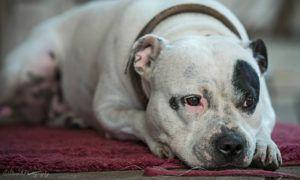 3 Amazing Ways To Honor A Staffordshire Bull Terrier Who Passed Away