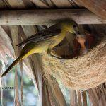 The beautiful nests of the Hooded Oriole