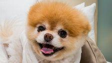 Fans Mourn The Death Of Boo, Pomeranian Known As 'World's Cutest Dog'