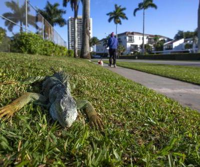 Florida's falling lizards are getting used to winter temperatures