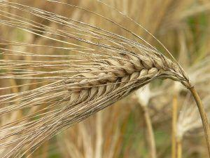 Iso-Seq Data Supports Annotation Efforts for Key Crops Wheat and Barley