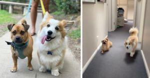 Silly Dog Wants To Be Just Like His Corgi Brother