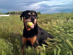 3 Tips To Teach Your Rottweiler To Play F