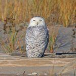 Come Me: Snowy Owls are Superior in Every Way to Great Gray Owls