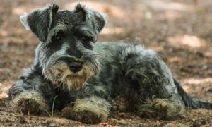 3 Amazing Ways To Honor A Schnauzer Who Passed Away