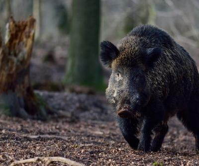Denmark working on 43-mile fence to keep boars out