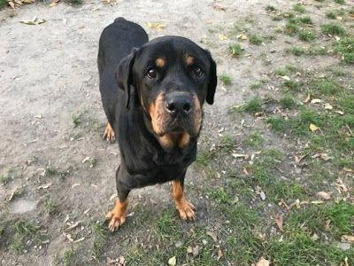 Adoption Monday: Addy, Rottweiler, Toronto, ON