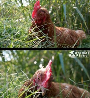 Chickens are inquisitive and intelligent. See chickens for the