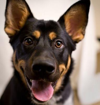 """BLAKE"" handsome young German Shepherd mix"