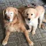 This Blind Golden Retriever and His Seeing Eye Puppy Will Warm Your Heart Right Up