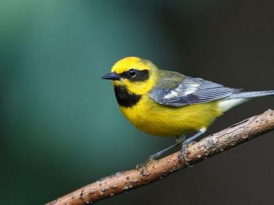 Analysis: Hybrid Birds Are Supercolliders of Speciation