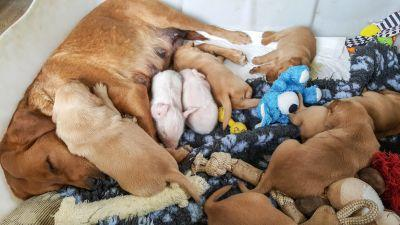 Molly the dog is a foster mum to two orphaned piglets