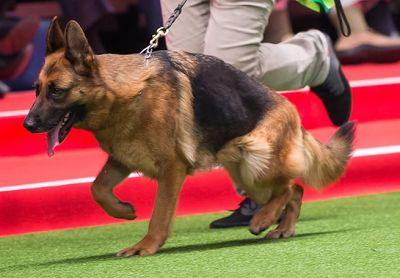 Shocking new study: German Shepherds die because they can no longer stand up