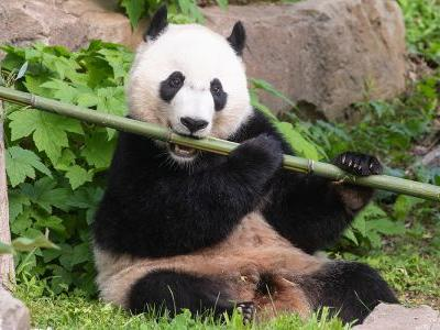 With 65 Pounds Of Bamboo, Giant Panda 'Bei Bei' Prepares For Flight To China