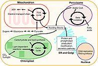 Compartmentalized metabolic engineering for biochemical and biofuel production
