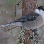 Gray Jays in the Adirondacks