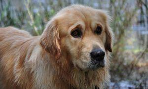 3 Amazing Ways To Honor A Golden Retriever Who Passed Away