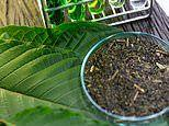 Three US health agencies move to make herbal opioid alternative kratom a schedule 1 drug