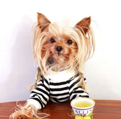 Willie the Yorkshire Terrier Has the Best Hair on the Internet