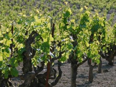 'Old-Vine' Zinfandel Is Lying to You