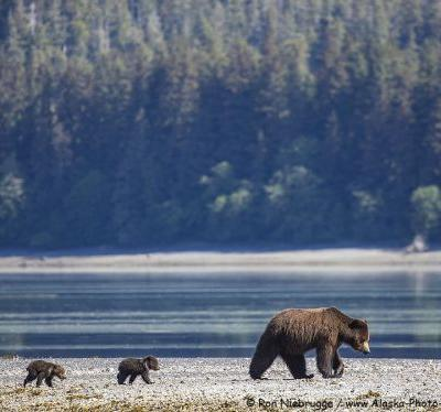 Sow and Cubs