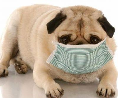 Your Questions About Canine Influenza - Answered