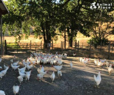 Some of the 2,000 hens rescued earlier this week enjoying