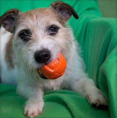 """COLUMBUS"" lively Jack Russell Terrier mix"
