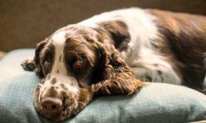 3 Amazing Ways To Honor A English Springer Spaniel Who Passed Away