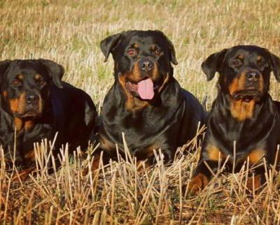 6 Unknown Facts About Rottweilers That Will Make You Get One For Yourself