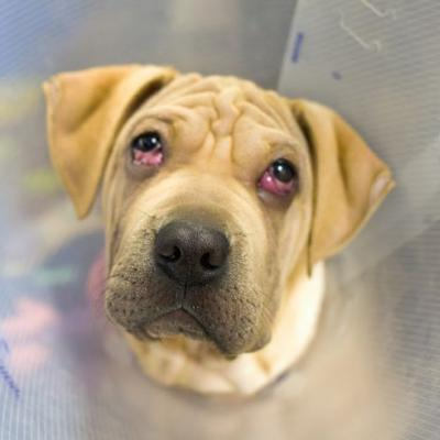 """""""RAISIN"""" update - wrinkly loose skinned American Shelter Mix PUPPY"""