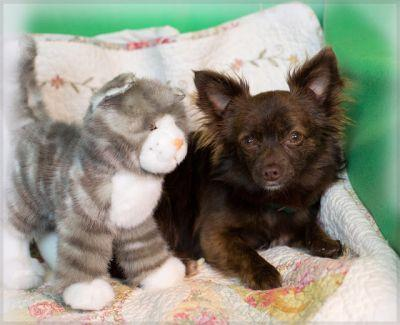 """""""HERSHEY"""" little longhaired mix"""