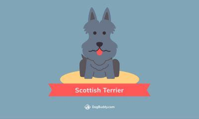 Woofpaper: Scottish Terrier