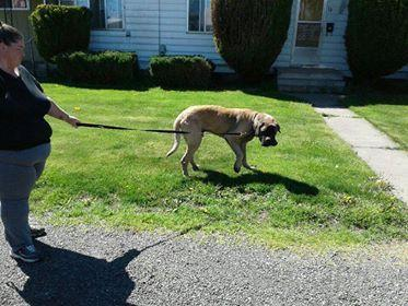 Rising Phoenix Mastiff Rescue Adopts Out Another Dog with Serious Health Problems