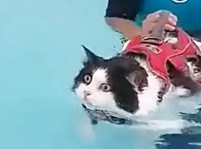 Mischa the fat cat is trying to lose weight by learning to swim