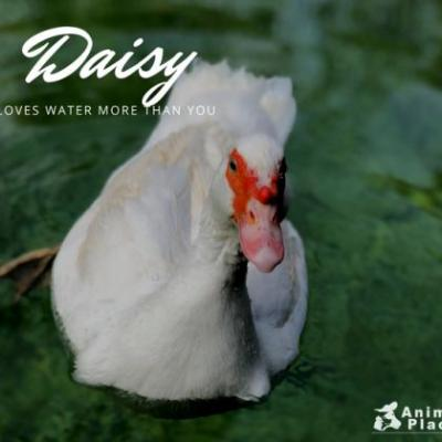 Daisy is a delightful duck who loves to swim more than you