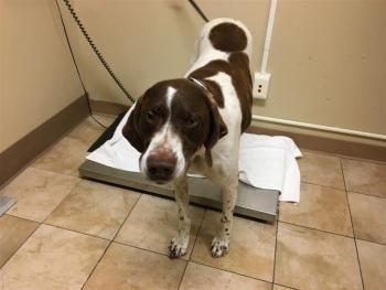 """LUKE"" German Shorthaired Pointer.""ZOEY"" pitmix.""ASPEN"" chi mix.CHOPEY, chi mix"