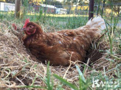 Before this dust bathing beauty, Shamrock, was rescued from an
